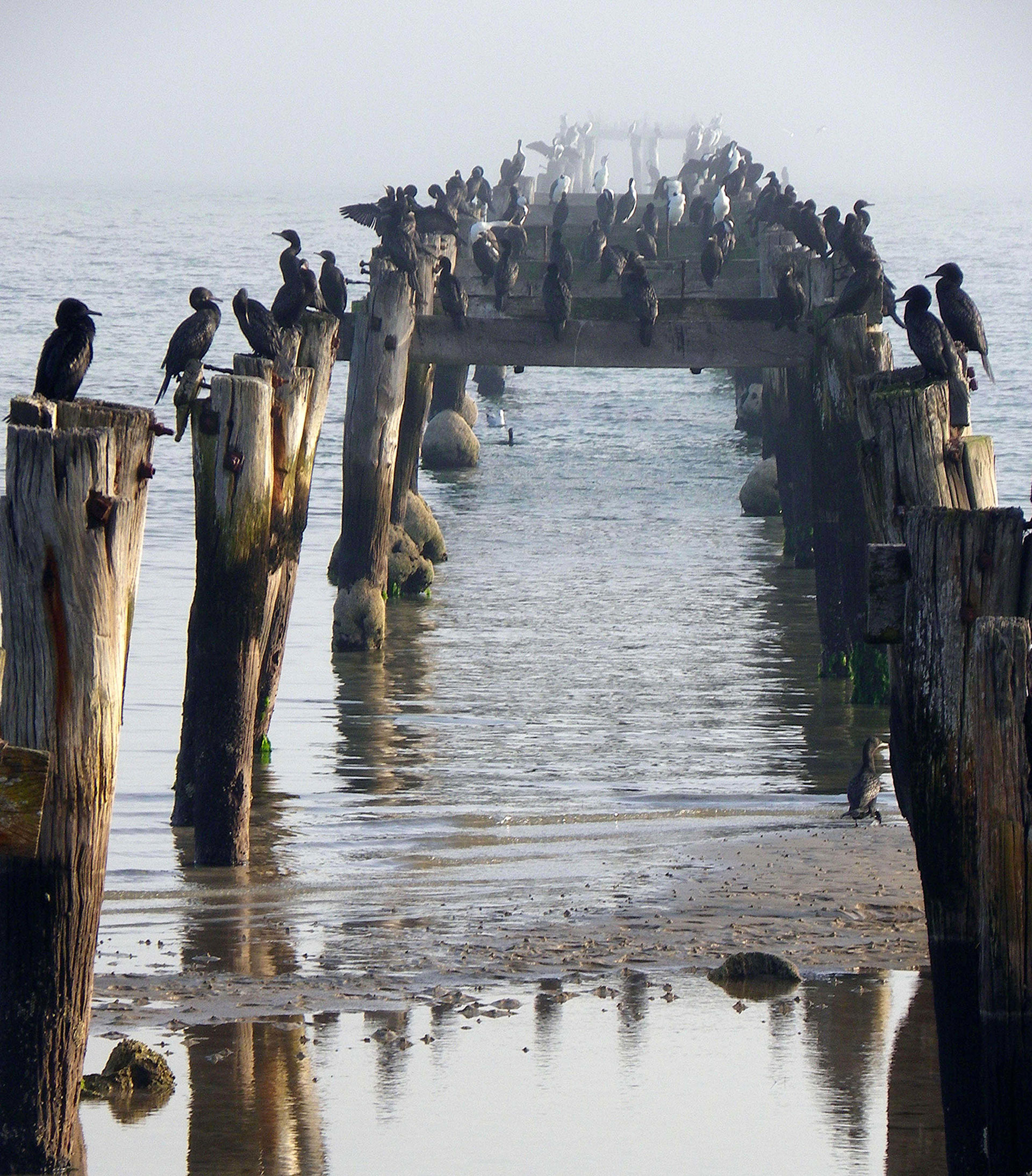 Cormorants In Winter, The Dell, Clifton Springs