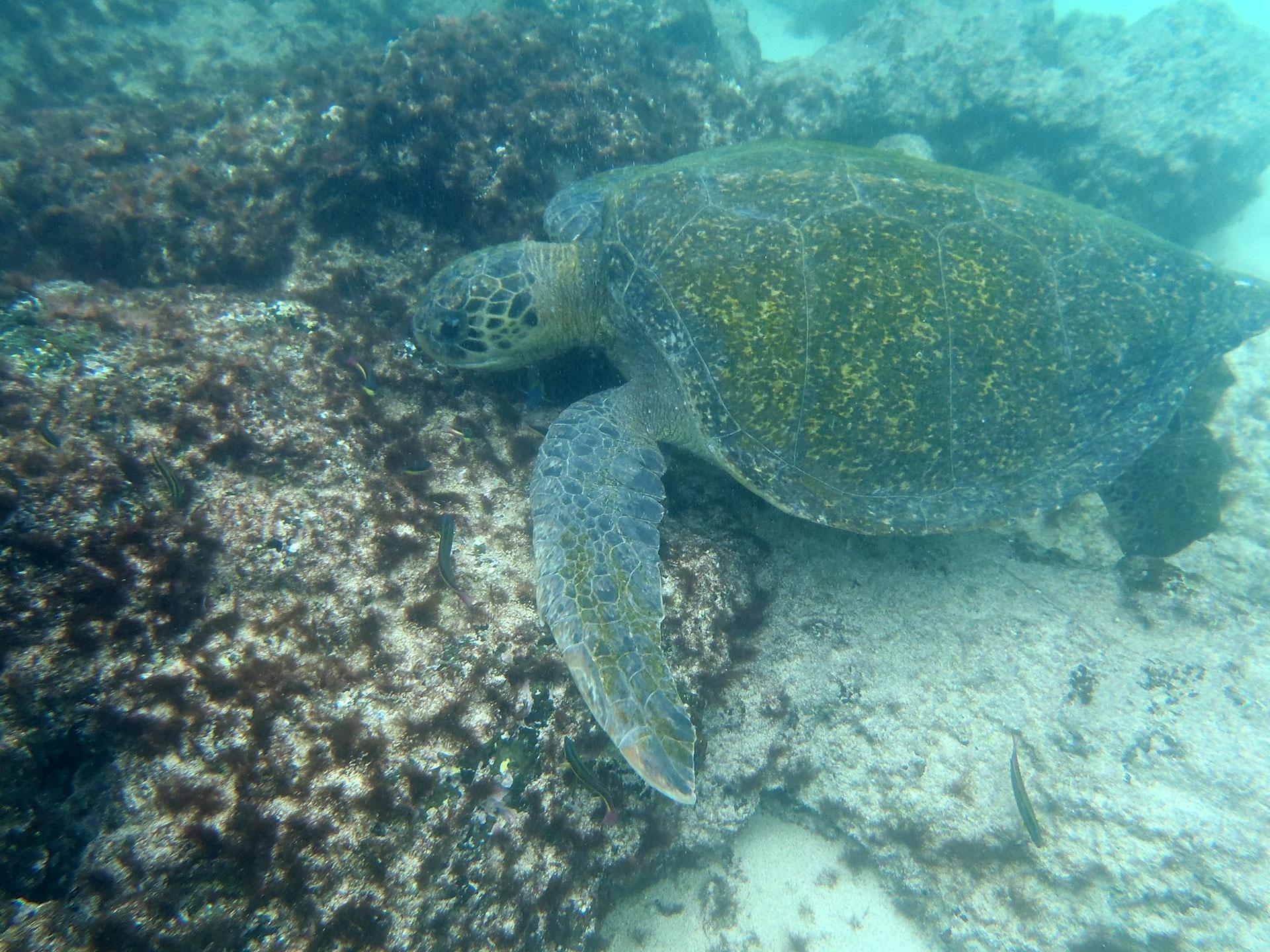 Galapagos Turtle, Ecuador 2016